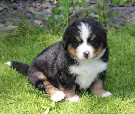 Bernese Mountain Dog Rescue Uk