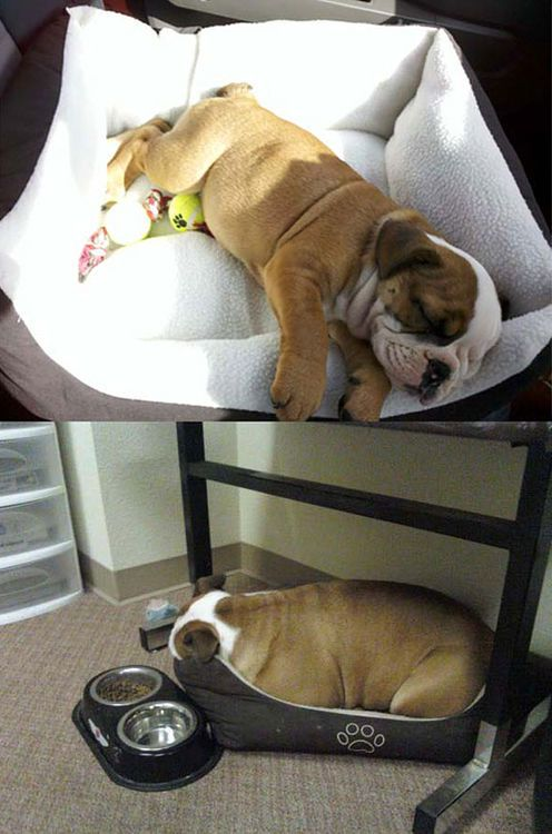 Best Dog Beds For Bulldogs