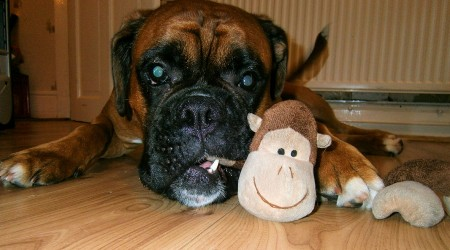 Best Dog Toys For Boxers
