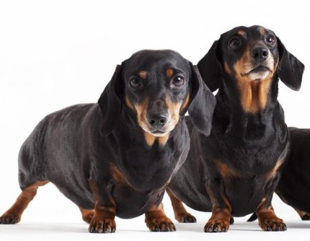 Best Dogs To Own For Men