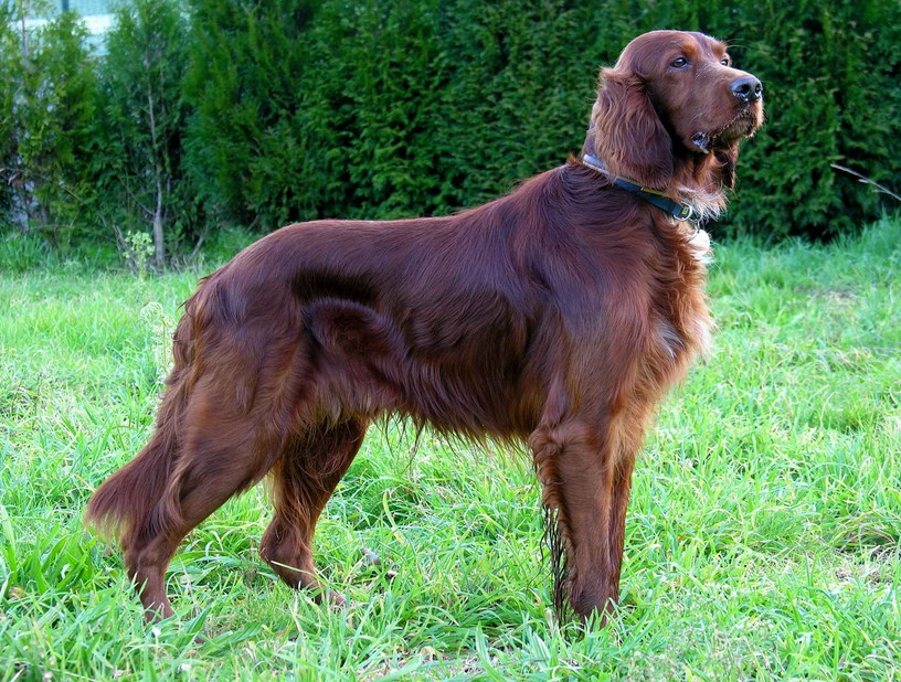 Best Family Dog Breeds Large