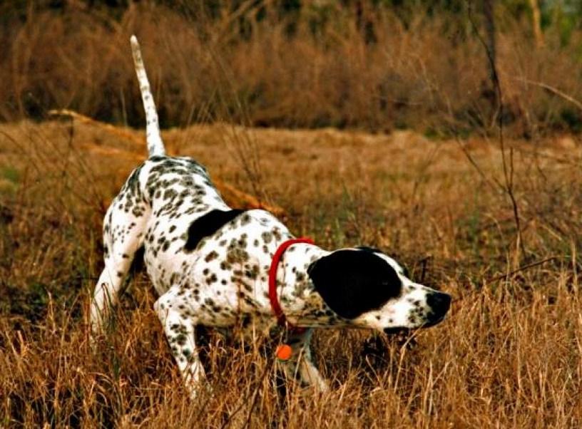 Best Hunting Dog Breeds List