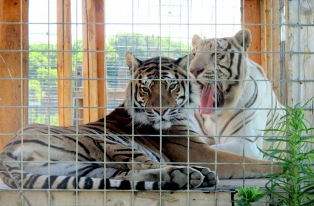 Big Cat Rescue Indiana