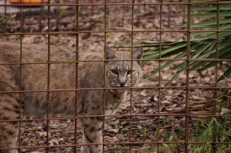 Big Cat Rescue Tampa Fl