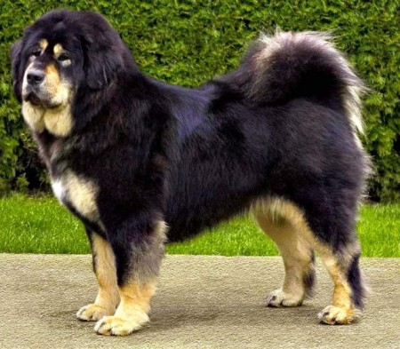 Big Dog Breeds Images