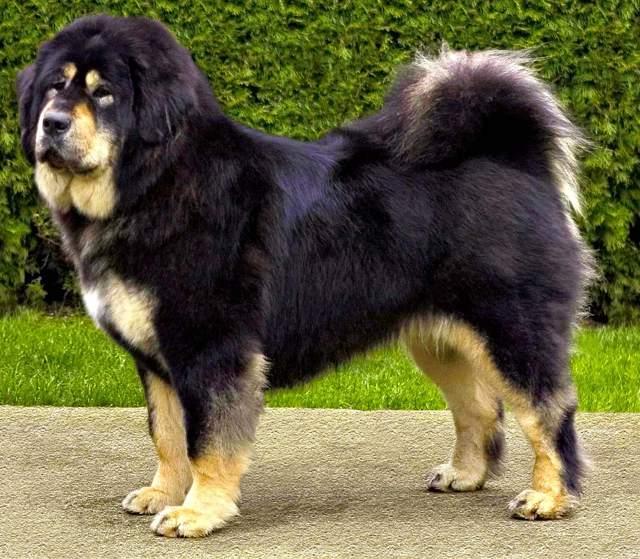 Big Dog Breeds Images