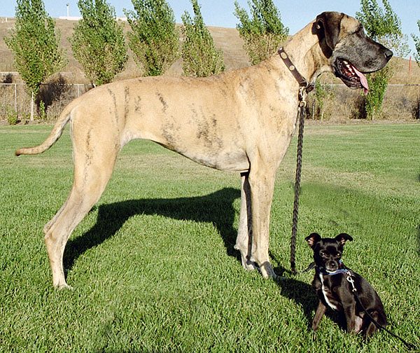 Big Dog Breeds List And Pictures