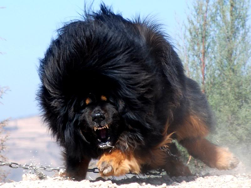 Big Dog Breeds Long Hair