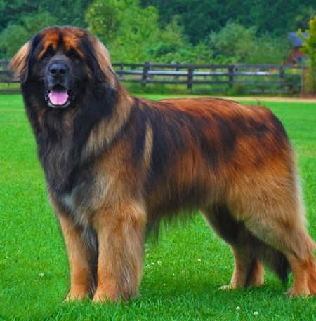 Big Dog Breeds Uk