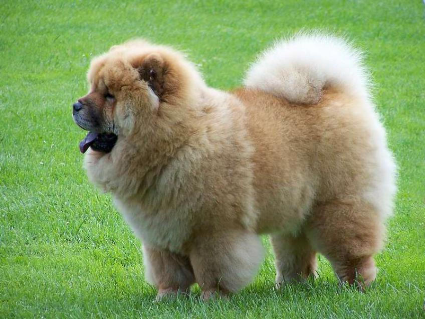 Big Dog Breeds With Pictures