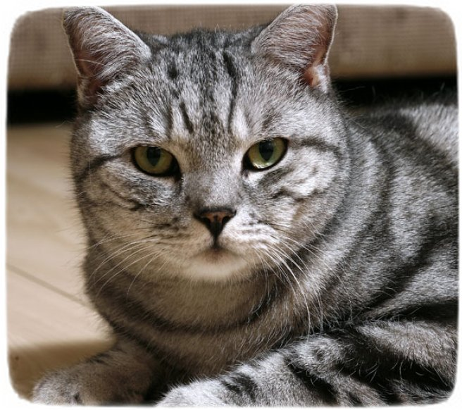 Big Domestic Cat Breeds