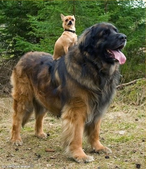 Big Hound Dog Breeds