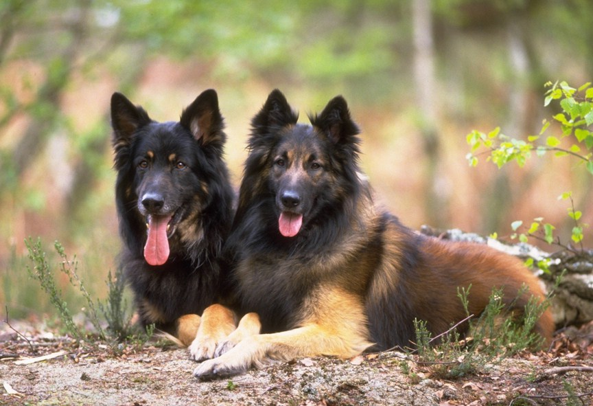 Big Shepherd Dog Breeds