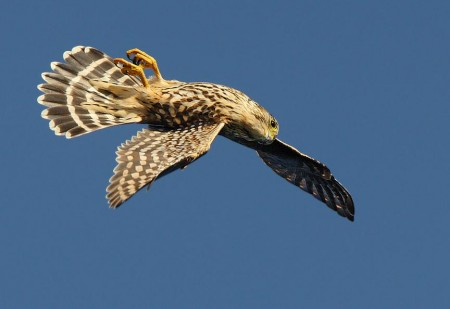 Birds Of Prey In Flight