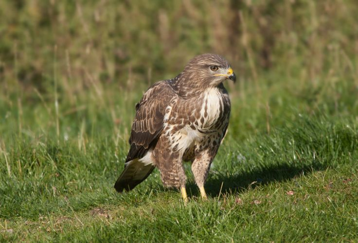 Birds Of Prey Uk
