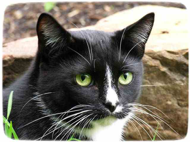 Black And White Cats With Green Eyes