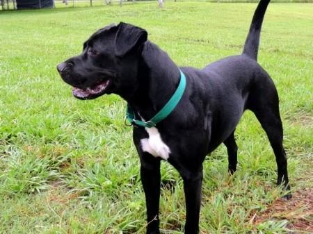 Black Boxer Dog Breed