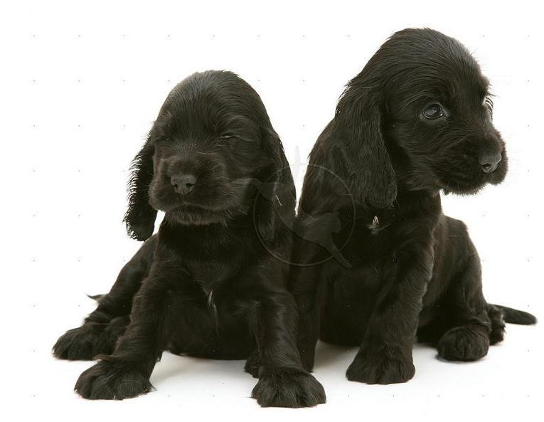 Black English Cocker Spaniel Puppies