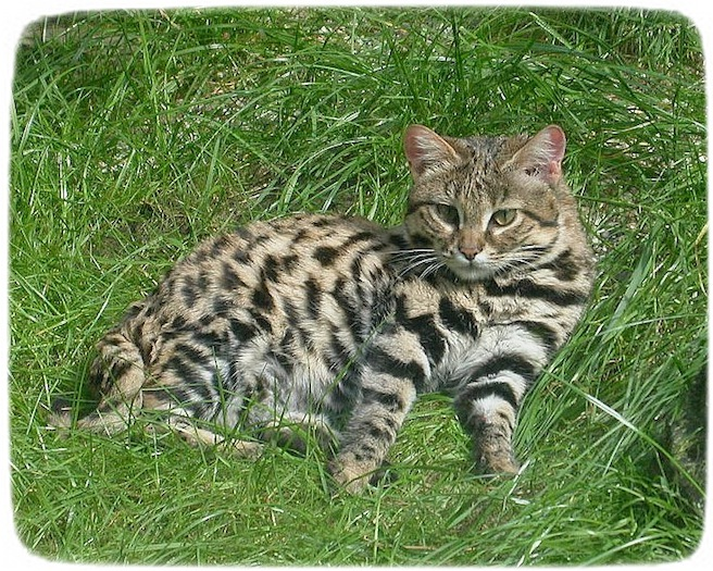 Black Footed Cat Images