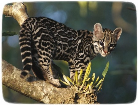 Black Footed Cat Pet