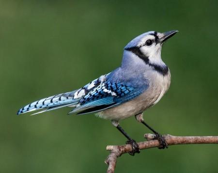 Blue Jay Bird Pics