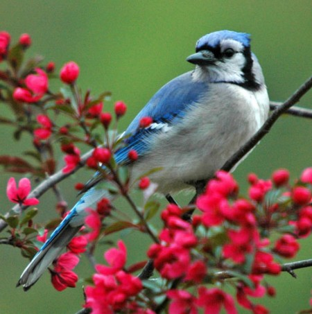 Blue Jay Bird Pictures