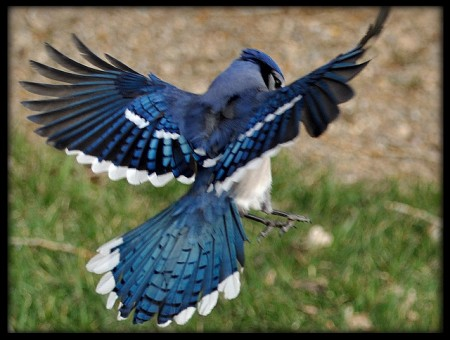 Blue Jays Birds In Flight