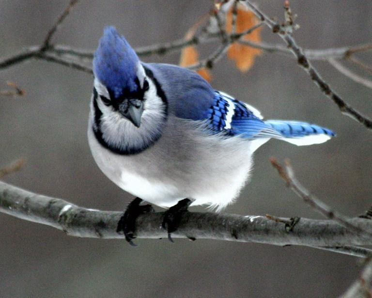 Blue Jays Birds In Snow