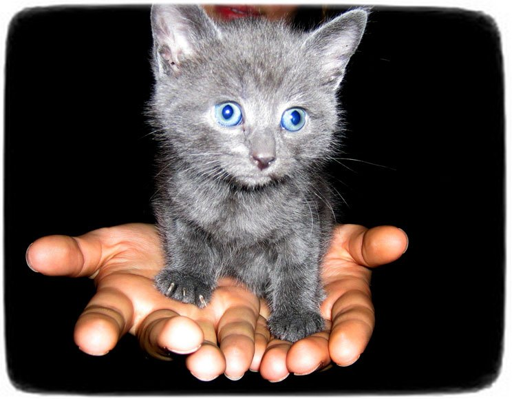 Blue Russian Cat With Blue Eyes