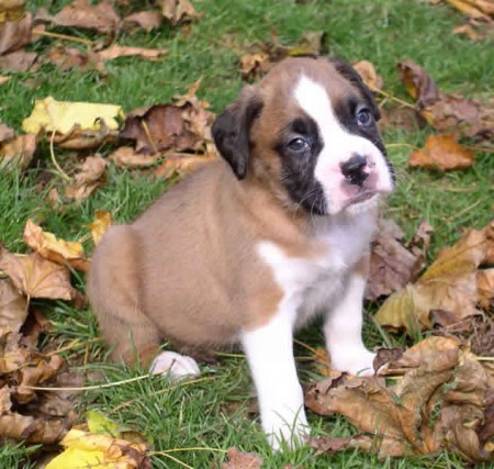 Boxer Dog Breed Puppies