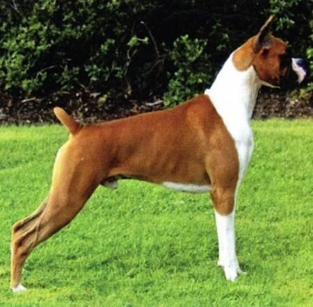 Boxer Dog Breed Standard