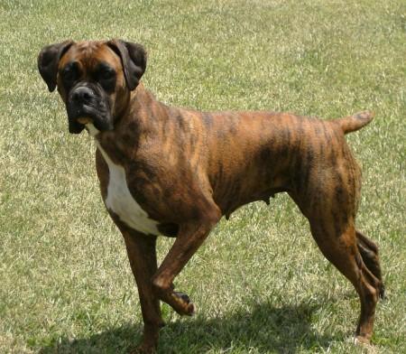 Boxer Dog Breeders