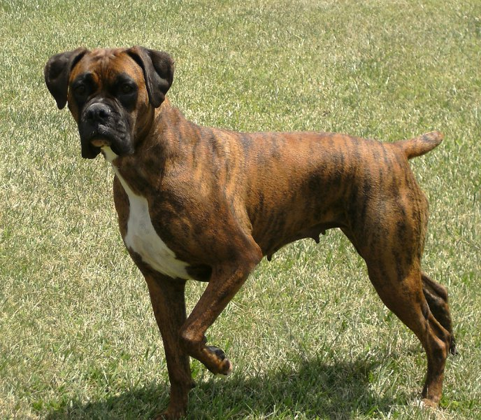 Boxer Dog Breeders