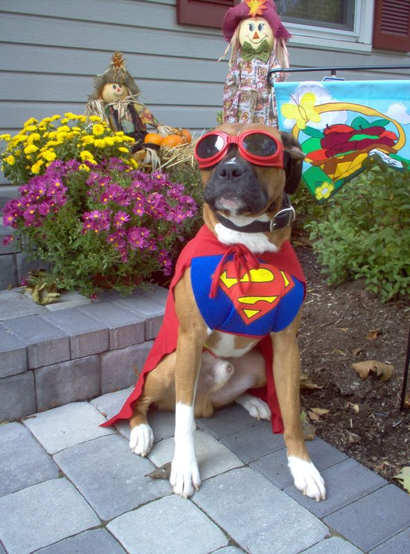 Boxer Dog Dress Up
