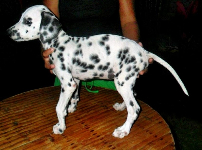 Breed Of Dogs In Philippines