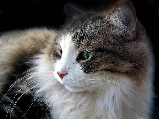 Breeds Of Cats Maine Coon