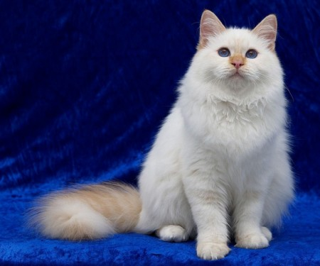 Breeds Of Cats Uk