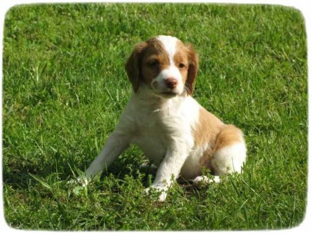 Brittany Spaniel Puppies Ohio
