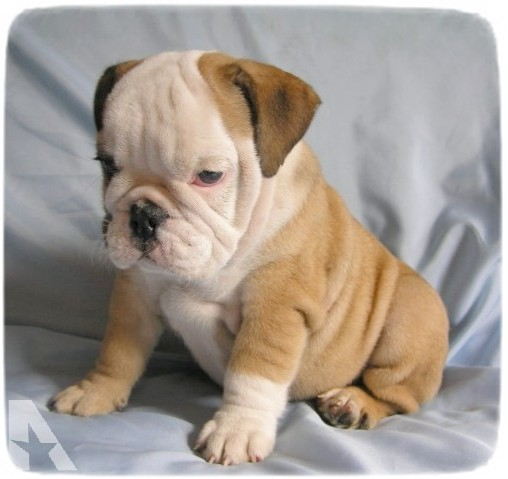 Bull Dog Puppies Pictures