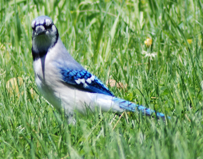 California Blue Jays Birds