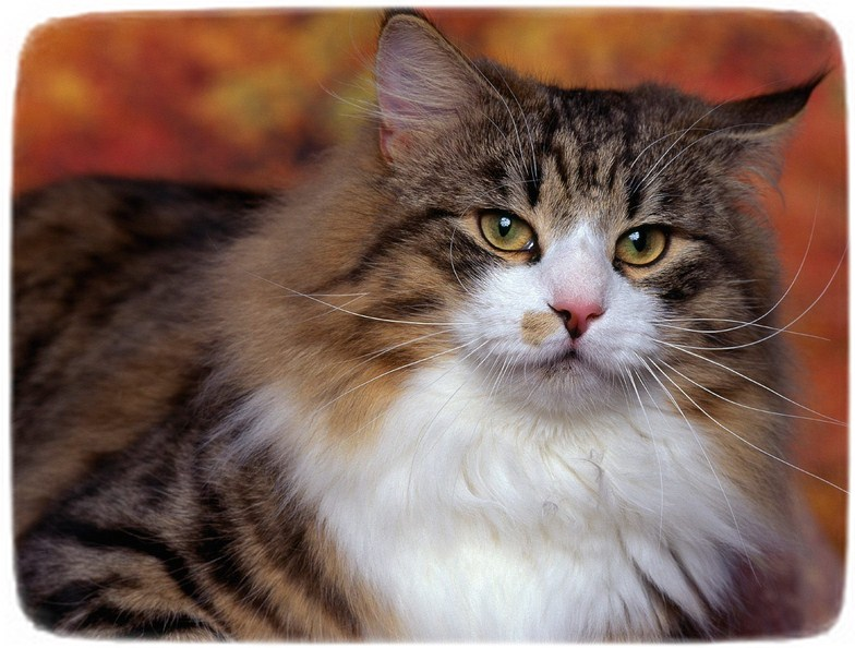 Cat Breeds With Pictures And Names
