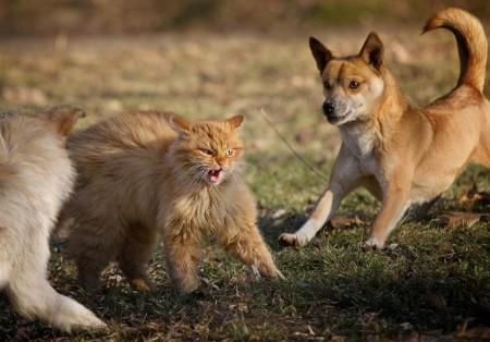Cat Vs Dog Fight