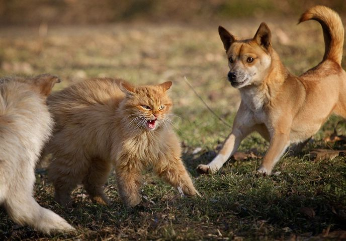 Cat Vs Dog Fight