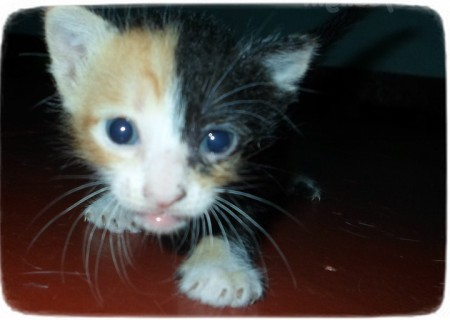Chimera Cats For Adoption
