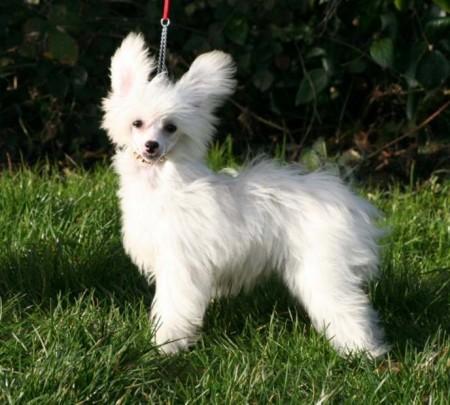 Chinese Dog Breeds List