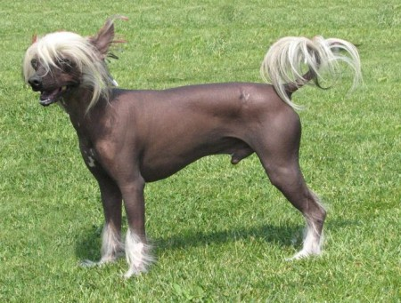 Chinese Dog Breeds Pictures