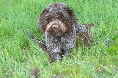 Chocolate Portuguese Water Dog Puppies