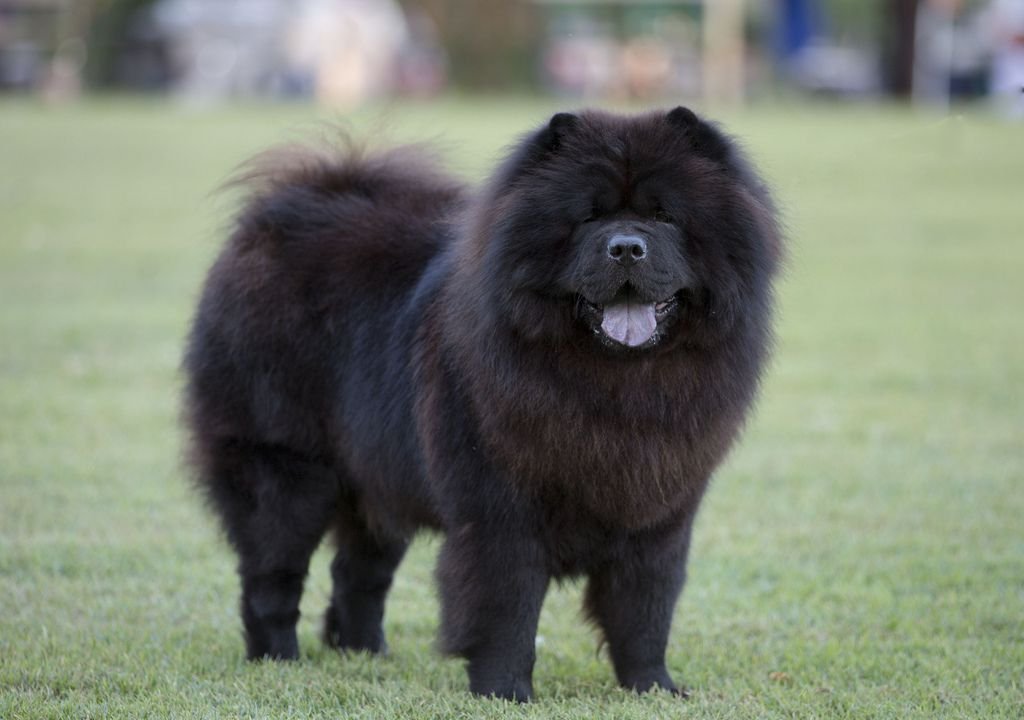 Chow Chow Dog Black
