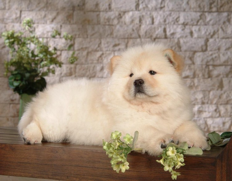 Chow Chow Dog Images