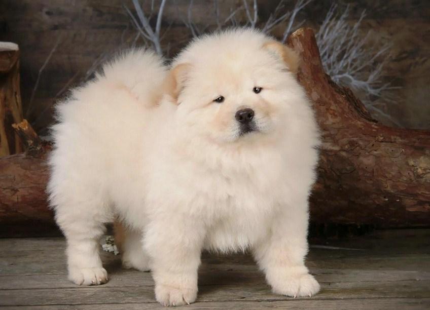 Chow Chow Dog Lion